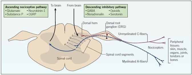 Nociceptive pain pathway. The cell bodies of nociceptors are located in the dorsal root ganglion (DRG) and terminate as free endings in peripheral tissues. Pain signals originating from the periphery pass through the dorsal root ganglion carried by C-fiber nerves (red) and myelinated A-fiber nerves (blue). Inputs directed to the dorsal horn synapse on interneurons that modulate the transmission of nociceptive signals to higher CNS centres. Signals are relayed to the brain via ascending pathways, and descending pathways from the brain send inhibitory signals. Highlighted in the boxes are key mediators and drug targets that play important roles in pain processing and transmission.
