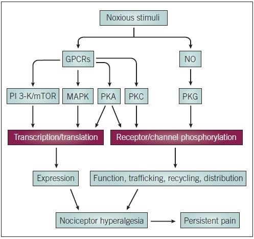 Intracellular signaling in chronic pain states. MAPK and PI 3-K/mTOR signaling pathways are thought to be the primary pathways involved in chronic pain and the regulation of gene transcription and translation in nociceptors. PKC, PKA and PKG pathways control posttranslational regulation of receptor and channel proteins, and also have influences on gene expression. Long term modulation of nociceptor plasticity in this way can lead to hyperalgesia and persistent pain states.
