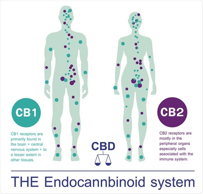 Human endocannbinoid system. Image Credit: Wut.ti.kit / Shutterstock