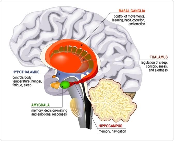 Sistema límbico. Secção transversal do cérebro humano. Corpo Mammillary, gânglio básicos, glândula pituitária, amygdala, hipocampo, thalamus - crédito da ilustração: Designua/Shutterstock