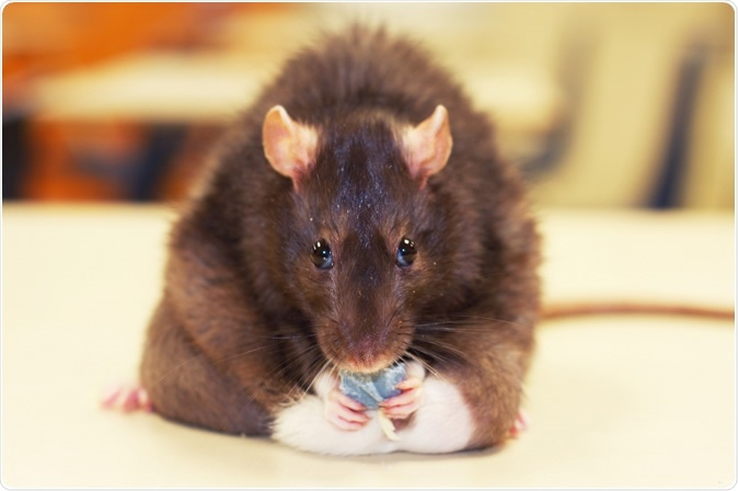 A pesquisa com ratos fornece alguma introspecção nos mecanismos que são a base da percepção de gosto alterada nos seres humanos a obesidade. Crédito de imagem: Stester/Shutterstock