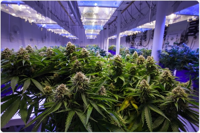 Commercial Cannabis growing operation. Image Credit: Canna Obscura / Shutterstock