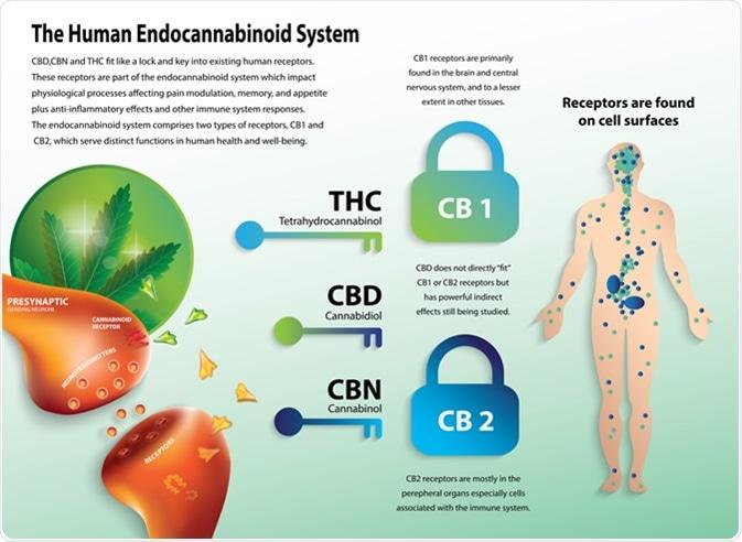 The human endocannabinoid system. Image Credit: Wut.ti.kit / Shutterstock