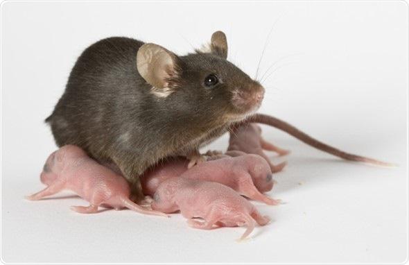 Le modèle nouveau-né de souris fournit des indices pour entraîner de la maladie dévastatrice d