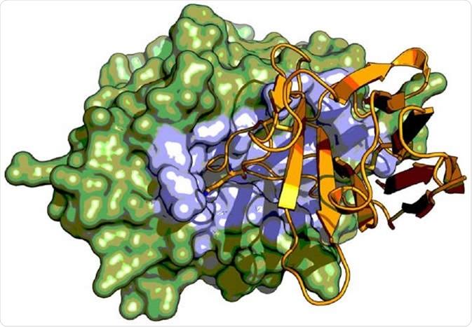 Radiografe o urokinase-tipo activador plasminogen do protease do serine da estrutura de cristal (verde) no complexo com um fragmento do anticorpo de Camelid (alaranjado). O indicador do fragmento do anticorpo de Camelid um mecanismo inibitório incomum ligando à região activa do local (destacada no azul) do protease do serine onde imita o emperramento da carcaça. Crédito de imagem: Tobias-Kromann-Hansen