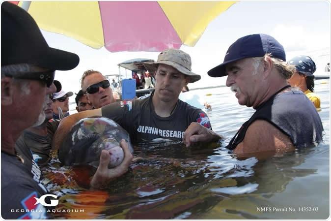 El Dr. Gregory Bossart (a la derecha) examina un amarradero durante el proyecto de la evaluación de riesgos de la salud y del ambiente junto a colegas. Haber de imagen: Acuario de Georgia/colina de Addison