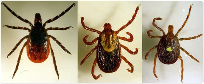 Three primary human-biting tick species present on Long Island were examined in this study. Left -- blacklegged tick also known as the deer tick, middle -- the American dog tick, right -- the lone star tick. Image Credit: Santiago Sanchez-Vicente, Stony Brook University