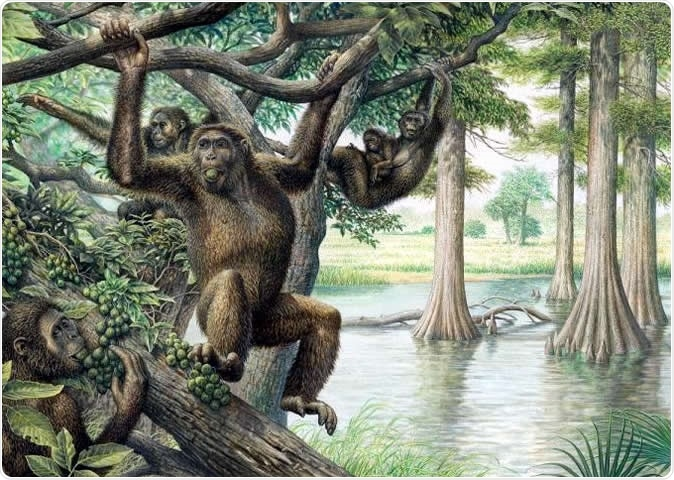 Rudapithecus was pretty ape-like and probably moved among branches like apes do now -- holding its body upright and climbing with its arms. However, it would have differed from modern great apes by having a more flexible lower back, which would mean when Rudapithecus came down to the ground, it might have had the ability to stand upright more like humans do. Illustration courtesy of John Siddick