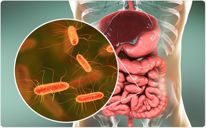 Intestinal microbiome, 3D illustration showing anatomy of human digestive system and enteric bacteria Escherichia coli, E. coli, colonizing jejunum, ileum, other parts of intestine. Gut normal flora - Illustration Credit: Kateryna Kon / Shutterstock