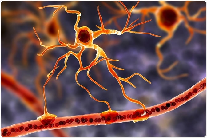 Astrocytes, brain glial cells, also known as astroglia, connect neuronal cells to blood vessels - Illustration Credit: Kateryna Kon / Shutterstock