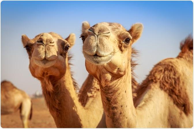 Camelids é membros do Camelidae biológico da família, única família actualmente de vida no suborder Tylopoda. Os membros extant deste grupo são: camelos do dromedário, camelos bactrianos, camelos bactrianos selvagens, lamas, alpacas, vicuñas, e guanacos. Crédito de imagem: EL Dershaby/Shutterstock de Yasser
