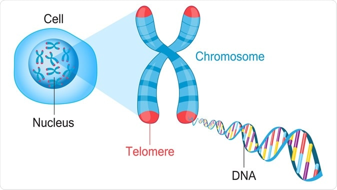 Telomeres are protective caps on the end of chromosomes. Cell, chromosome and DNA vector illustration. Credit: Fancy Tapis / Shutterstock