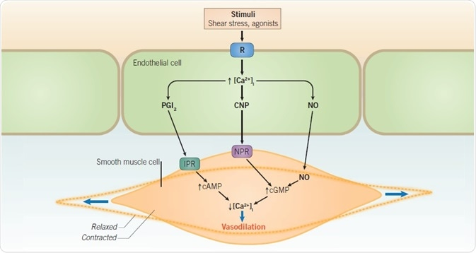 Nitric oxide-mediated vasodilation