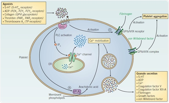 Platelet signaling and activation.