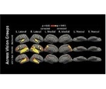Research shows how the brain repurposes unused regions in blind people