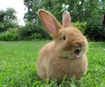 Origin of female orgasm revealed by rutting rabbits