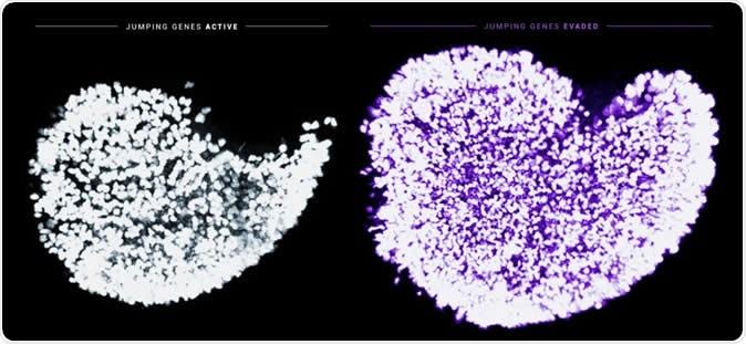 Indicadores desta imagem o aumento acentuado na doação de pilhas de ovo imaturas em ratos recém-nascidos quando o atrito Fetal do Oocyte for impedido da ocorrência. É mostrado no branco um ovário expor à actividade fisiológico normal do gene de salto LINE-1. É mostrado no roxo um ovário que seja tratado com o AZT para inibir LINE-1 e transformado para desligar o ponto de verificação Chk2 de dano do ADN. Os núcleos de pilhas de ovo imaturas individuais são etiquetados por um marcador pilha-específico do germe. Crédito de imagem: Marla Tharp e Navid Marvi