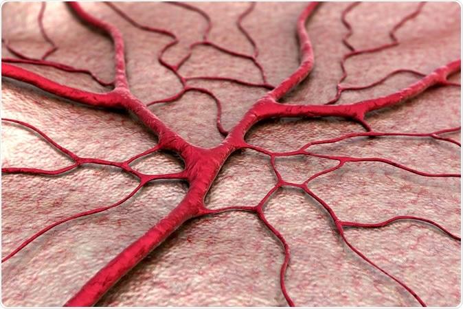Blood vessels - illustration. Image Credit: UGREEN 3S / Shutterstock