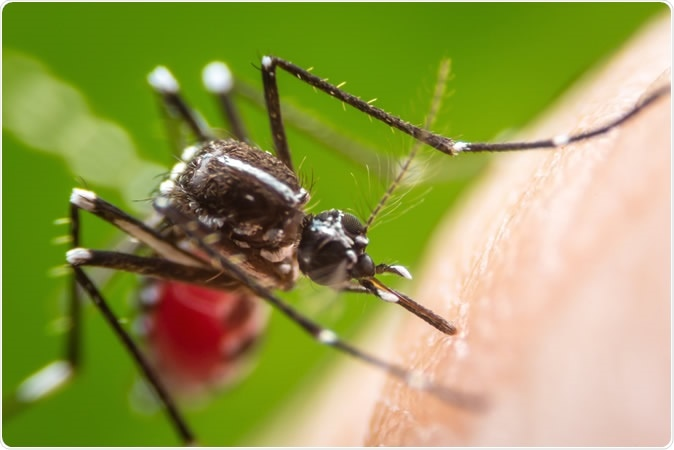 Aedes aegypti mosquito on human skin. Image Credit: Khlungcenter / Shutterstock