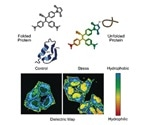New molecular probe senses the state of proteome in live cells