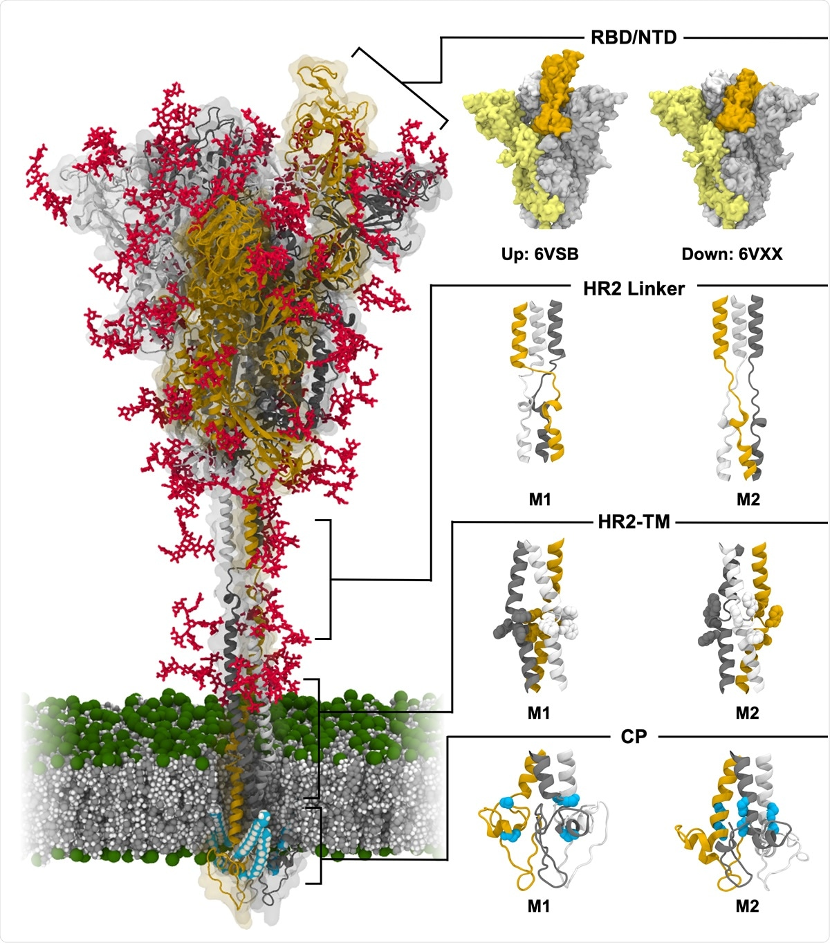 Model structure of fully-glycosylated full-length SARS-CoV-2 S protein in a viral membrane. A model structure of SARS-CoV-2 S protein is shown on the left panel. Two models for RBD/NTD, HR2 linker, HR2-TM, and CP are enlarged on the right panel. The three individual chains of S protein are colored in yellow, gray, and white, respectively, while glycans are represented as red sticks. The palmitoylation sites of S protein are highlighted in cyan. The phosphate, carbon, and hydrogen atoms of the viral membrane are colored in green, gray, and white, respectively. For clarity, water molecules and ions are omitted. All illustrations were created using Visual Molecular Dynamics (VMD)30.