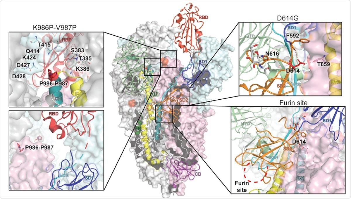 Representação do ectodomain trimeric do ponto SARS-CoV-2 com um RBD-up em uma conformação do prefusion (identificação 6VSB do PDB). O domínio S1 em um protomer de RBD-down está mostrado como pálido - superfície molecular verde quando o domínio S2 for mostrado no vermelho pálido. Os subdomínios em um protomer de RBD-up são coloridos de acordo com o painel A em um diagrama da fita. Cada inserir corresponde ao suplente das regiões do ponto e é destacado no vermelho na estrutura trimeric (K986P-V987P, D614G e o local da segmentação do protease do furin).