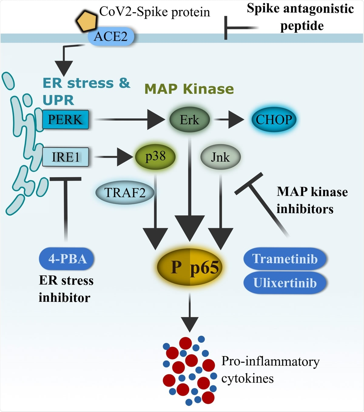 Schematics of CoV2-S1-mediated inflammation via ER-UPR and MAP kinase pathways. SARS-CoV-2 (CoV2) spike protein binds with ACE2 on the surface of human bronchial epithelial cells and rapidly facilitates the induction of ER stress and unfolded protein response (UPR). Activation of UPR (PERK and IRE1) promotes the activation of MAP kinases, and the two pathways synergistically drive the activation of NF-κB and production of pro-inflammatory cytokines. FDA-approved ER-UPR inhibitor 4-phenylburic acid (4- PBA) and MAP kinase inhibitors (trametinib and ulixertinib) suppressed CoV2-S1-induced ER stress and MAP kinase activities, resulting in reduced NF-κB-mediated expression of pro inflammatory cytokines.