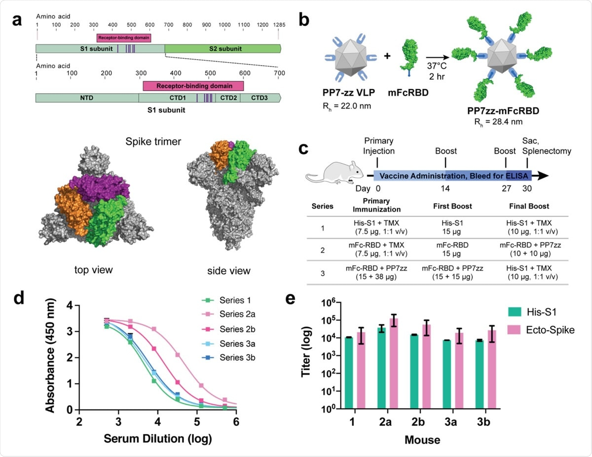 SARS-CoV-2 Spike protein subunit vaccine strategy and humoral immune response in mice. a, Recombinant spike subunit 1 protein (His-S1, residues 1-681) or S1 Receptor Binding Domain (mouse Fc-RBD, residues 319-541, ACE2 contact residues in purple; PDBID: 6vxx) antigens. b, VLP display of Fc-tagged antigens using the PP7 particle bearing 120 ZZ-domains; a 1:1 mass ratio of mFc-RBD and VLP provides a Fc:ZZ molar ratio of approximately 0.8. Rh = hydrodynamic radius measured by dynamic light scattering in phosphate buffer. c, Vaccine schedule and strategy. Six-week old female BALB/c mice (n = 3 per group) were immunized with primary antigen and adjuvant on day 0 followed by boosts on days 14 and 27. Blood was collected for ELISA on days 0, 14, 21 and 30. d, ELISA responses for serum dilutions against plated His-S1 protein from the sacrificed mice at day 30. e, Titer values from ELISA analysis as in panel d, against plated His-S1 or spike ectodomain protein. Immunization series defined in panel c; a and b designate different mice within that series. Experimental error represents standard deviation.