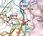 D614G mutation in SARS-CoV-2 increases viral fitness and infectivity