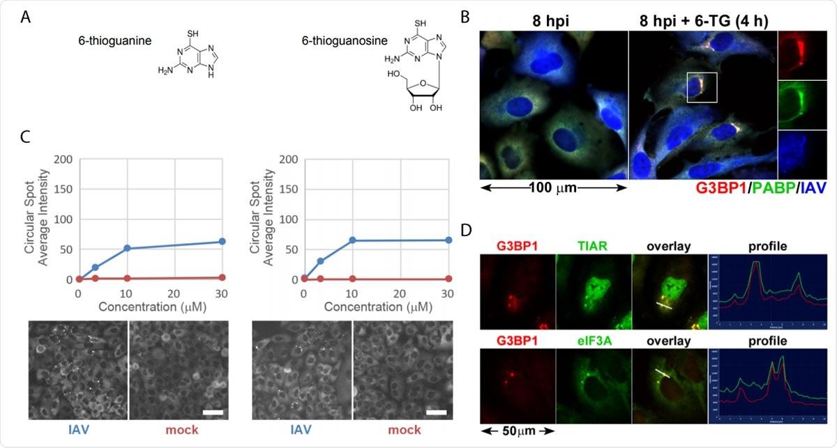 Los análogos 6-TG y 6-TGo de Thiopurine inducen selectivamente los gránulos de la tensión en células infectadas IAV. (a) Diagramas estructurales de las pequeñas moléculas determinadas en la pantalla. (b) La cuantificación de la formación de focos de EGFP-G3BP en IAV-Udorn infectó (azul) o de los glóbulos infectados (rojos) de la mofa tratados con el aumento de dosis de 6-TG y de 6-TGo (superiores) y de las imágenes de Cellomics del representante del canal de EGFP de las células tratadas con 30 el µM 6-TG y 6-TGo (parte inferior). En el hpi 4, las células fueron tratadas con 0, 1, 10 y 30 uM dosis del thioguanine de los análogos 6 del thiopurine (6 - TG) o el thioguanosine 6 (6-TGo). En el hpi 8, las células eran fijas y manchadas con Hoeschst 33342. La captura automatizada de la imagen fue realizada usando un programa de lectura de Cellomics Arrayscan VTI HCS. 15 imágenes fueron capturadas para cada uno pozo y la intensidad punteada EGFP-G3BP1 del promedio era calculada. (c) Las células A549 fueron infectadas con IAV-CA/07 en un MOI de 1. En el hpi 4, las células fueron tratadas con 6-TG o mofa-tratadas. En el hpi 8, las células eran fijas e immunostained con los anticuerpos ordenados para esfuerzo las proteínas G3BP1 del marcador del gránulo (rojo), PABP (verde) y un anticuerpo policlonal de IAV que (azul) descubre los antígenos de NP, de M1, y de la ha, siguieron manchando con los anticuerpos secundarios Alexa-conjugados. (d) Las células A549 fueron infectadas con IAV-CA/07 en un MOI de 1. En el hpi 4, las células fueron tratadas con 6-TG (el 10µM). En el hpi 8, las células eran fijas e immunostained con los anticuerpos ordenados para esfuerzo las proteínas G3BP1 del marcador del gránulo (rojo), TIAR (verde) y eIF3A (verde), siguieron manchando con los anticuerpos secundarios Alexa-conjugados. Las imágenes capturaron en un microscopio fluorescente de Zeiss Axioimager Z2. Imágenes representativas mostradas. Las barras de la escala representan el µm 20.