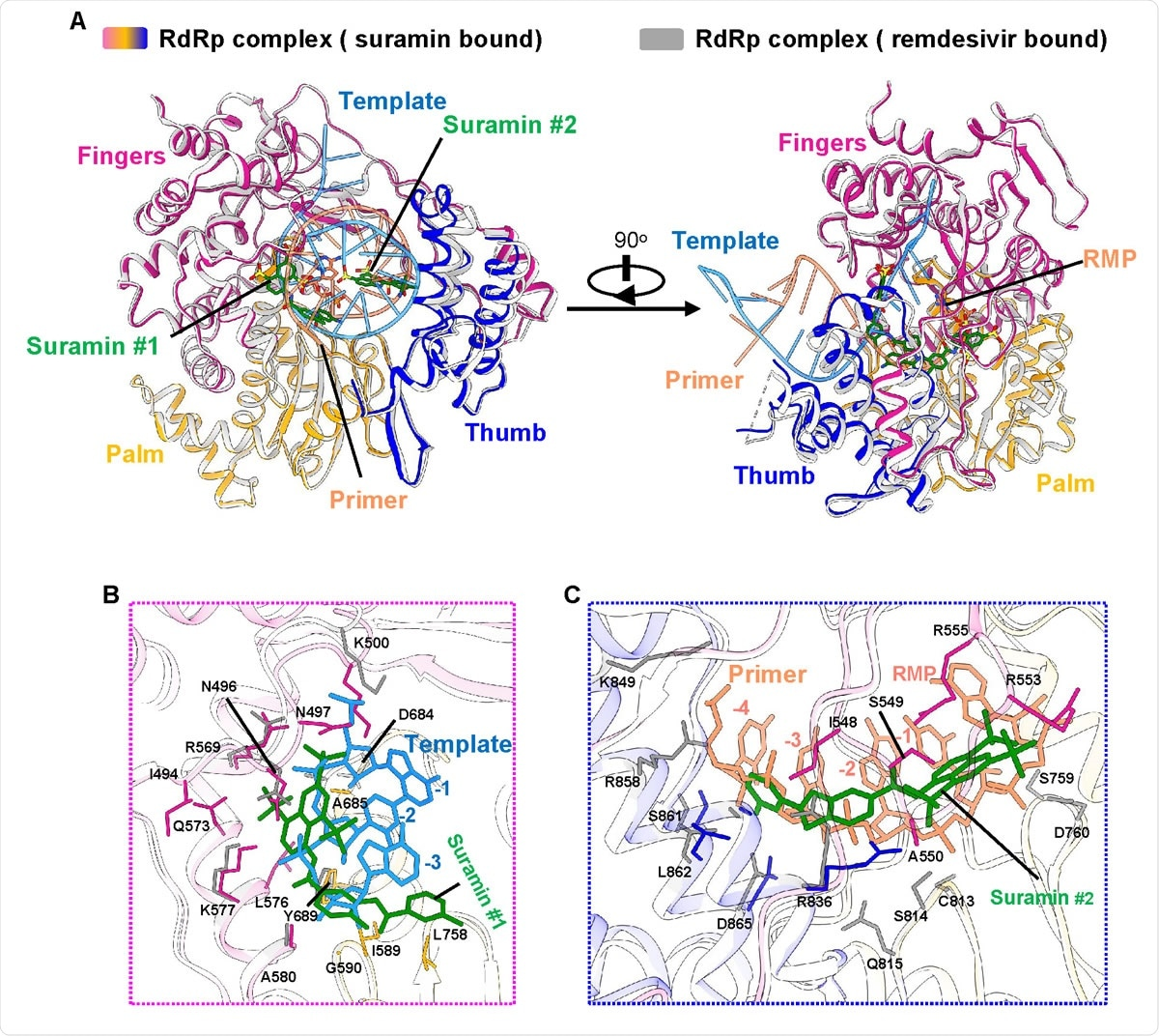 Inhibition mechanism from comparison with the remdesivir-bound RdRp structure A. The two overall views of the RdRp-suramin complex overlapped with the remdesivir-bound RdRp structure (PDB ID: 7BV2). For clarity, only the polymerase domains are presented. The remdesivir bound RdRp structure is set as light gray, the template RNA is set as cyan, and the primer RNA is set as red. B. Close view of suramin #1 overlapped with RNA template strand. C. Close view of suramin #2 overlapped with RNA primer strand.