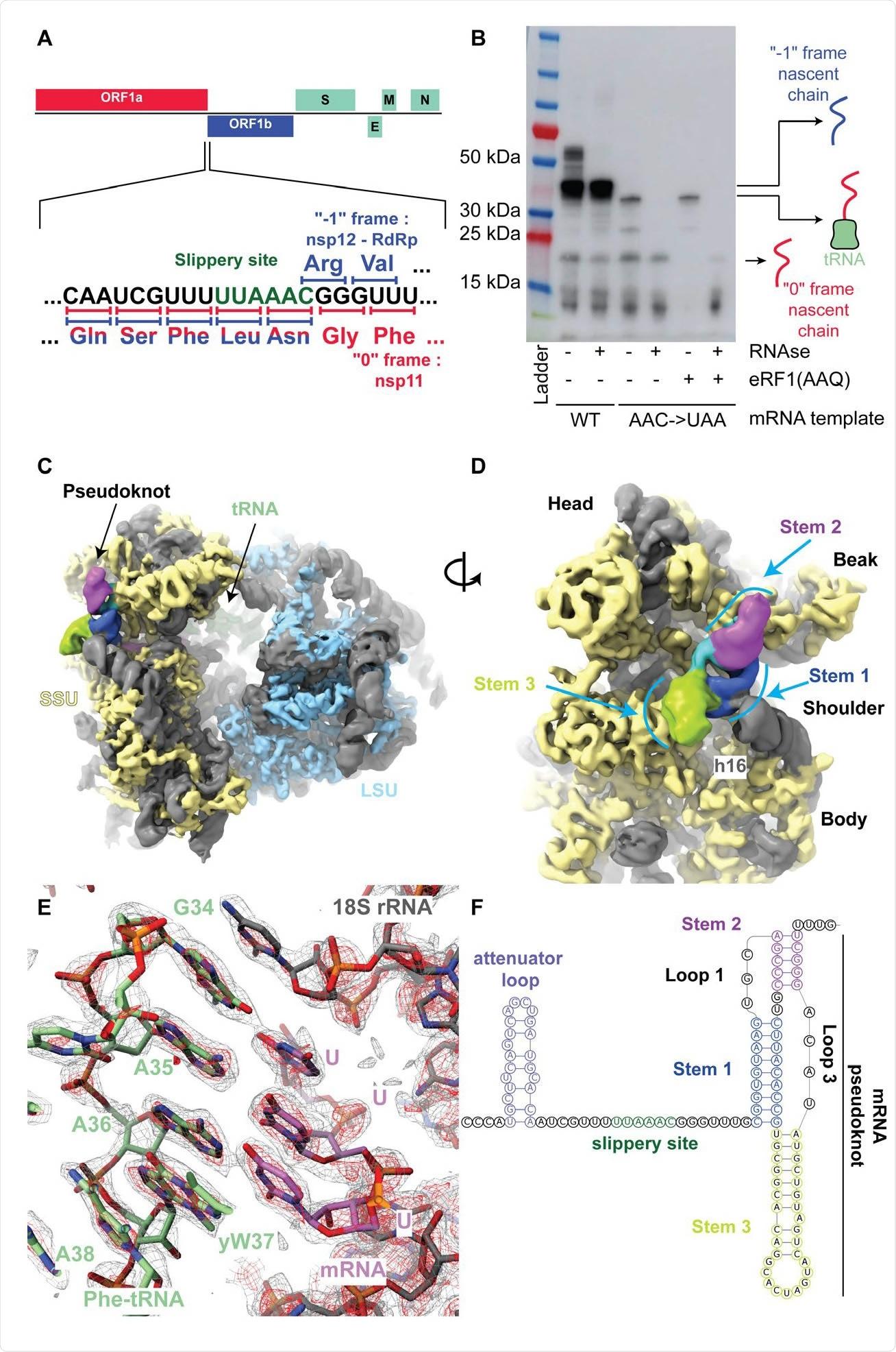 O pseudoknot SARS-Cov-2 interage com o ribosome e pausa tradução a montante do local escorregadiço. (a) Diagrama esquemático do SARS-CoV-2 ORF principal. No fim acima da ideia do evento do frameshift, os codons e os ácidos aminados correspondentes são mostrados. Durante -1 que frameshifting, os codons UUA do local escorregadiço do `