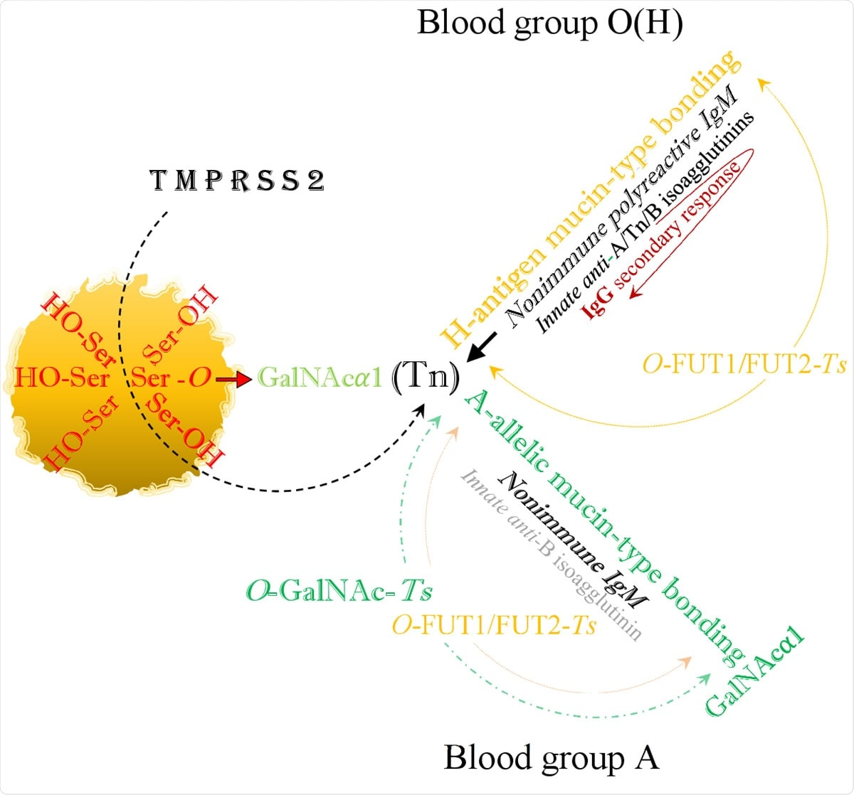 The viral SARS-CoV-2 serine residues, mobilized by host's TMPRSS2, highjack the host's GalNAc metabolism and both blood group O(H) and blood group A are identically infected via blood group independent, trans-species intermediate O-GalNAc-Ser (Tn) glycosylation.
