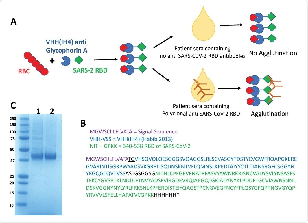 Haemagglutination Test (HAT) for detection of antibodies to SARS-CoV-2 Receptor Binding Domain. A) Concept of the HAT B) Sequence of VHH(IH4)-RBD fusion protein. Residues underlined are encoded by cloning sites AgeI (TG) and SalI (AST). The codon optimised cDNA sequence is shown in supplementary Information C) SDS-PAGE gel of purified VHH(IH4)-RBD proteins. Three micrograms of protein were run on 4-12% Bolt Bis-Tris under reducing conditions. 1: IH4-RBD produced in house in Expi293F cells, 2: IH4-RBD produced by Absolute Antibody, Oxford in HEK293 cells.