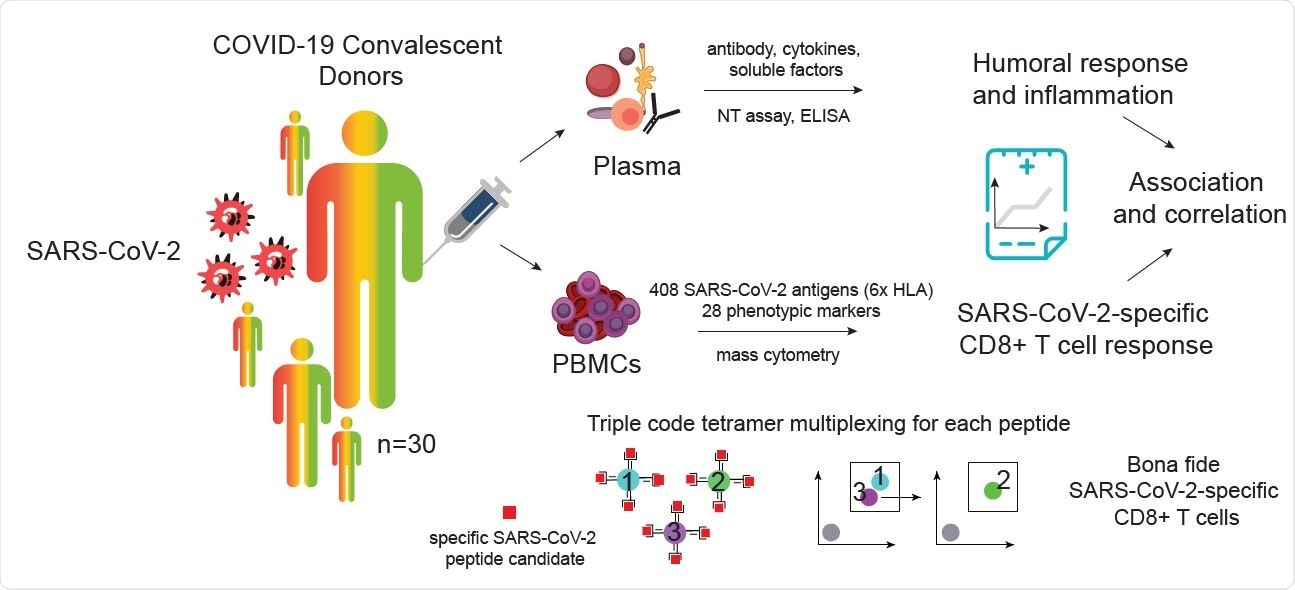Identification and characterization of SARS-CoV-2-specific CD8+ T cells from SARS-CoV-2 convalescent donors. A) Visualization and schematic overview of the experimental workflow. SARS-CoV2-specific CD8+ T cells were identified and simultaneously characterized in PBMCs from convalescent donors by screening a total of 408 SARS-CoV-2 candidate epitopes across six HLAs using a mass cytometry based highly multiplexed tetramer staining approach. Frequencies and phenotypic profiles of SARS-CoV-2-specific T cells were associated and correlated with the cross-sectional sample-specific humoral response and inflammation parameters.