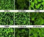 Furin cleavage site and D614G on SARS-CoV-2 spike evolved to balance infectivity, stability, cytopathicity
