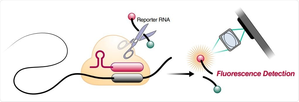 Schematic of a Cas13a (beige)-crRNA (red) RNP complex binding target RNA (black), resulting in activation of the HEPN nuclease (denoted by scissors) domain. Upon target recognition and RNP activation, Cas13a indiscriminately cleaves a quenched-fluorophore RNA reporter, allowing for fluorescence detection as a proxy for Cas13a activation and target RNA. (B) Schematic of the SARS-CoV-2 nucleocapsid (N) gene, and the corresponding locations of each crRNA spacer region.