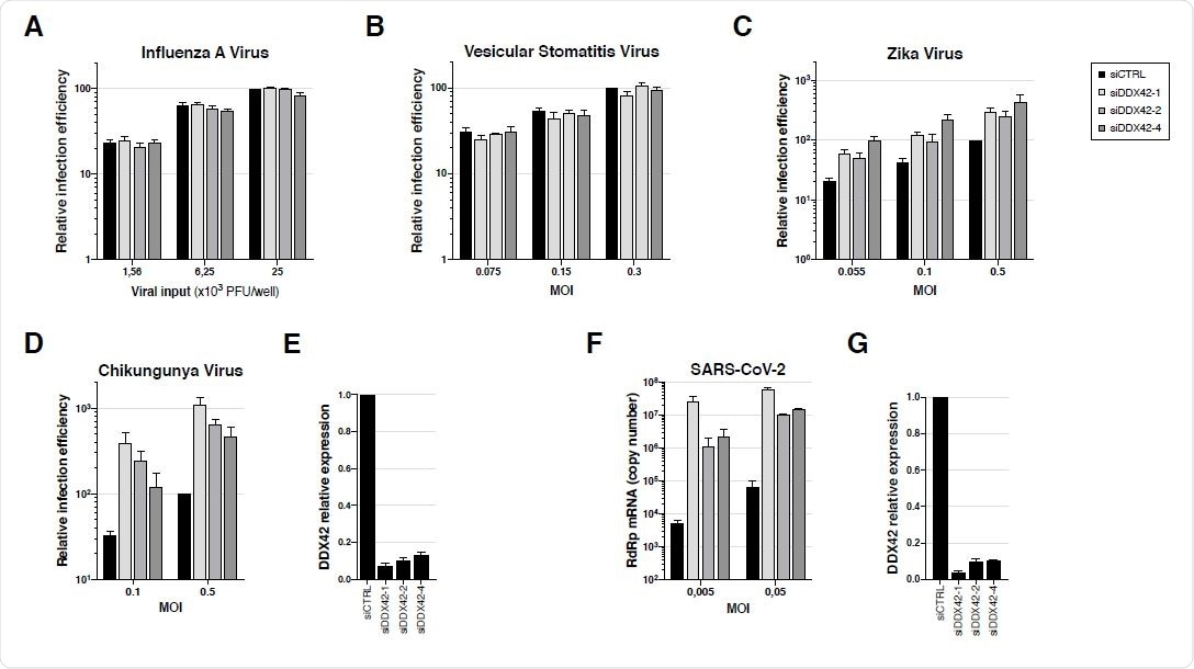 Endogenous DDX42 does not impact VSV or IAV infection, is a mild inhibitor of ZIKV infection and potently inhibits both CHIKV and SARS-CoV-2 replication. A. U87-MG cells were transfected with a nontargeting siRNA or siRNAs targeting DDX42 (siDDX42-1, -2 and -4) and, 72 h post-transfection, cells were infected with an influenza A reporter virus expressing Nanoluciferase. The Nanoluciferase signals were measured 16 h later. B. Control- and DDX42-depleted U87-MG cells were infected with a Firefly expressing VSV reporter at the indicated MOIs. The Firefly signals were measured 24 h later. C. Control- and DDX42-depleted U87-MG cells were infected with a Nanoluciferase-expressing ZIKV at the indicated MOIs. The Nanoluciferase signals were measured 24 h later. D. Control- and DDX42-depleted U87-MG cells were infected with a Gaussiaexpressing CHIKV at the indicated MOIs. The Gaussia signals were measured 24 h later. E. Quantification of DDX42 silencing efficiency in U87-MG cells by RT-qPCR. F. A549-ACE2 cells were transfected with a nontargeting siRNA or siRNAs targeting DDX42 (siDDX42-1, -2 and -4). 72 h post-transfection, cells were infected with SARS-CoV-2 virus at the indicated MOIs and lysed 2 days later, their RNA contents extracted and SARSCoV- 2 replication efficiency was measured by RT-qPCR, using RdRp primers and probe. G. Quantification of DDX42 silencing efficiency in A549-ACE2 cells by RT-qPCR. A-G Data represent the mean ± S.E.M. of three independent experiments.