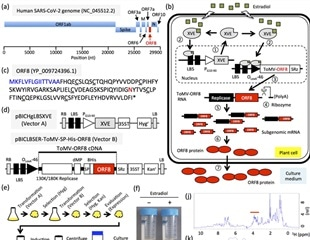 Mass production of SARS-CoV-2 ORF8 protein using a chemical-inducible system in tobacco BY-2 cells