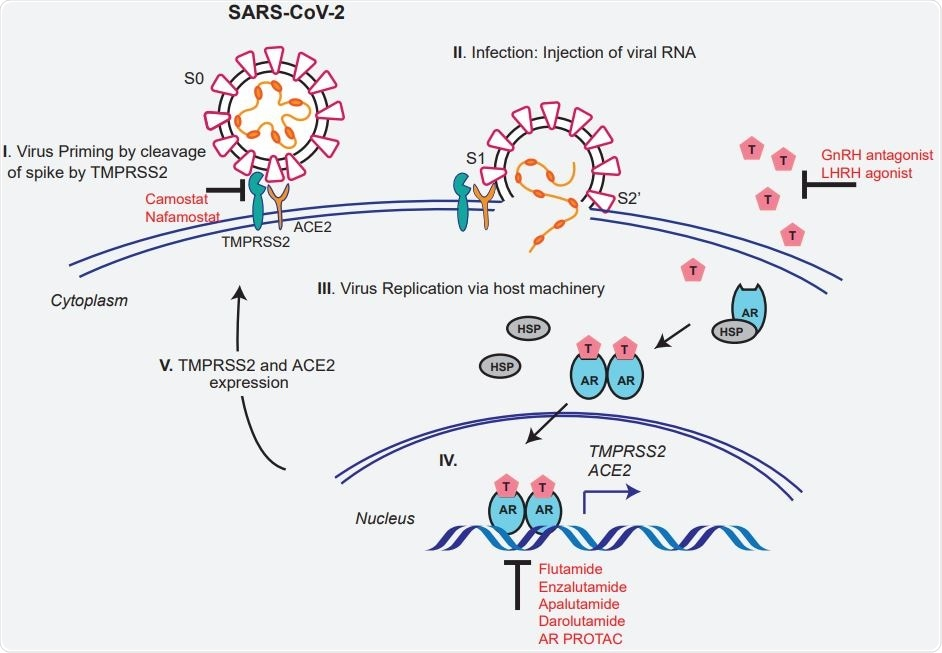 Schematic depicting the role of TMPRSS2 in SARS-CoV-2 Spike cleavage, and androgen mediated expression of ACE2 and TMPRSS2 that could potentially be targeted by AR directed therapies.