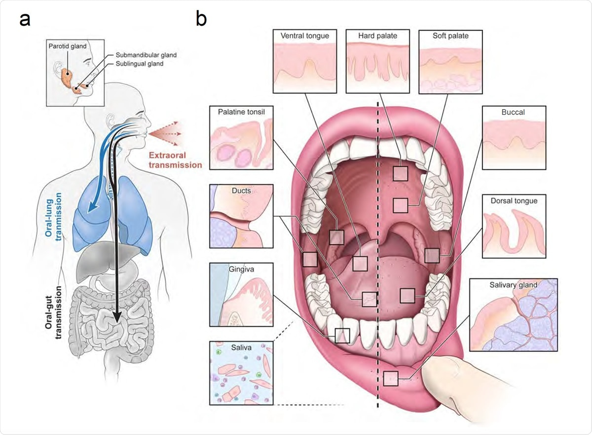 """An infection and transmission axis for SARS-CoV-2 among distinct oral niches. (a) The contribution of the oral cavity to COVID-19 pathogenesis and transmission has been little explored. It is unknown whether SARS-CoV-2 can infect and replicate in the oral mucosa or glands. This is critical because if the glands or mucosa are sites of early infection, they may play an important and underappreciated role in transmitting virus """"intermucosally"""" to the lungs or gastrointestinal tract. Alternatively, saliva may also play a central role in transmitting the virus extraorally in asymptomatic, pre-symptomatic, or symptomatic individuals. (b) The human oral cavity is a diverse collection of tissue niches with potentially unique vulnerabilities to viral infection. These sites include oral mucosae (hard palate, buccal mucosa, dorsal and ventral tongue) as well as the also the terminally differentiated secretory epithelia of the minor saliva glands (distributed in the buccal and labial mucosa, hard and soft palate, ventral and dorsal tongue) and major saliva glands (parotid, submandibular, and sublingual). Nearby are diverse oropharyngeal niches (palatine and lingual tonsils, soft palate). Saliva, a mixture of fluids, electrolytes, proteins, and cells (immune and sloughed mucosal epithelial cells) is made primarily by the saliva glands and empties into the oral cavity where it mixes with other fluids (crevicular fluid) and cells."""