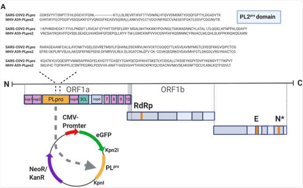 PLpro of SARS-CoV-2 cleaves ULK1 (A) Sequence alignment of the PL protease domain of SARS-CoV-2 and PL protease domain 2 of MHV-A59 is shown. The SARS-CoV2-PLpro was cloned into EGFP-C1 vector.