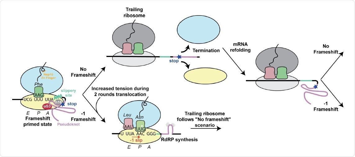 Estruture o modelo baseado para frameshifting programado -1 nos coronaviruses e no seu regulamento. As interacções observadas entre o pseudoknot e o ribosome aprontam o sistema para frameshifting. As características do pseudoknot e as interacções entre a corrente emergente e o túnel ribosomal jogam um papel na eficiência de frameshifting. A eficiência de frameshifting é aumentada pela presença de um codon de parada perto do local frameshifting. Os Ribosomes que progridem além do local frameshifting nos 0 quadros rapidamente terminam e desmontam, desse modo aumentando as possibilidades que o pseudoknot refold antes que esteja encontrado pelo ribosome pròxima de arrasto. O ribosome de arrasto encontra por sua vez o pseudoknot, que aumenta a possibilidade de se submeter -1 que frameshifting.