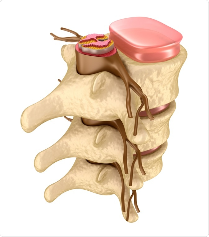 Insight into the Spinal Cord