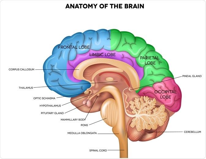 Anatomia di cervello umano