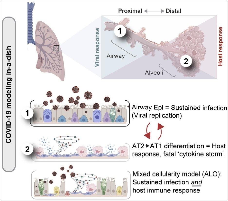 El modelado célula-basado vástago integrado de una enfermedad y la aproximación de cómputo demuestran cómo ambo el epitelio próximo de la aerovía es crítico para la contagiosidad SARS-CoV-2, pero la diferenciación distal de pneumocytes alveolares es crítica para simular la reacción celosísima del ordenador principal en COVID-19 fatal.