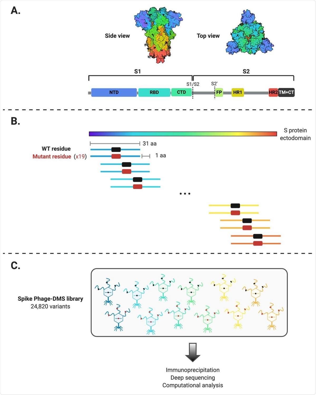 Disegno schematico della progettazione della libreria del Dei fagi-DMS della punta. (A) Struttura della proteina di S e della posizione dei domini importanti della proteina. La struttura è stata fatta in BioRender.com (PDB: 6VXX) (B) le sequenze sono state destinate informaticamente per codificare lungamente per i peptidi 31 amminoacido e per piastrellare per gradi attraverso il ectodomain della proteina di Wuhan-Hu-1 SARS-CoV-2 S da 1 amminoacido. Ci sono 20 peptidi che rappresentano tutti e 20 gli amminoacidi possibili alla posizione centrale, contenente il tipo selvaggio residuo (indicato nel nero) o un residuo mutante (indicato nel rosso). All