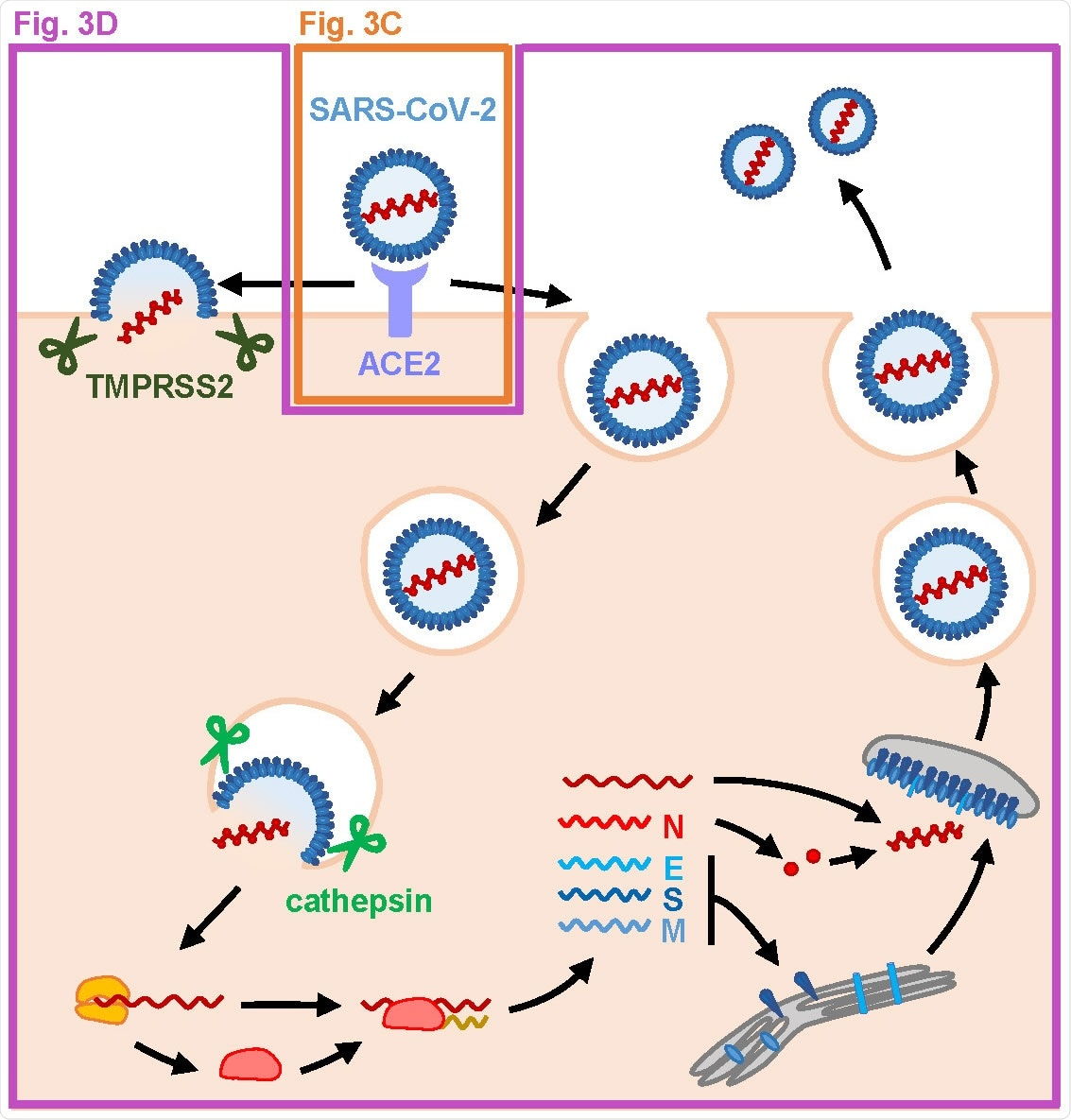MFQ inhibits the SARS-CoV-2 entry process. (A) SARS-CoV-2 life cycle. SARS-CoV-2 infection is initiated with virus attachment to the host cells that involves the cellular receptor, angiotensin converting enzyme 2 (ACE2), followed by the cleavage of viral Spike (S) proteins by either transmembrane serine protease (TMPRSS2) on the plasma membrane or cathepsins in the endosome/lysosome that induces fusion of viral and host membranes. Viral RNA is translated, processed and replicated to be assembled into progeny virus with viral structural proteins and released extracellularly.
