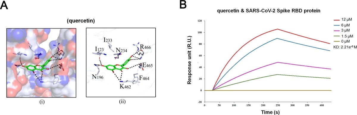 Quercetin could bind to RBD domain of S-protein with a high binding affinity. (A) Hydrophilic-hydrophobic interaction between (i) quercetin and SARS-CoV-2 Spike in candidate protein binding pocket, and (ii) quercetin and relative amino acids. (B) The KD of the SARS-CoV-2 Spike RBD protein with a series of concentrations of quercetin was calculated by SPR.