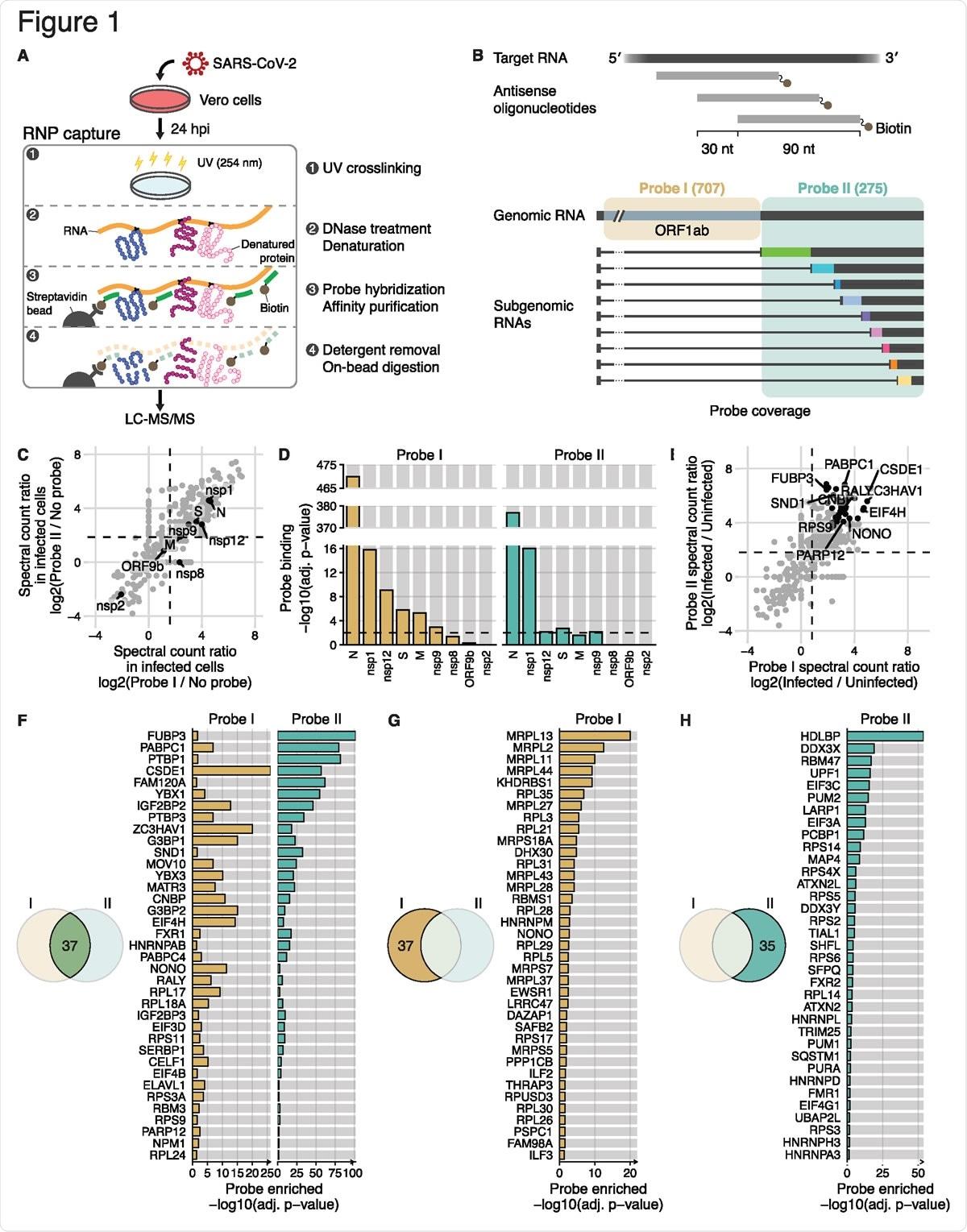 """Anfitrião detalhado da identificação e proteínas virais que interagem directamente com o diagrama esquemático de SARS-CoV-2 RNAs (a) do protocolo alterado de RAP-MS em pilhas de SARS-CoV-2-infected Vero. (b) Diagrama esquemático de duas associações separadas de 90 oligonucleotides antisentido do NT e de sua cobertura do RNA SARS-CoV-2. A primeira ponta de prova ajustou a """"ponta de prova que eu"""" consisto em 707 oligonucleotides que cobrem a região original de gRNA, e a """"ponta de prova ajustada segunda ponta de prova II"""" consiste em 275 oligonucleotides que cobrem a região comum de gRNA e de sgRNAs. (c) Relação espectral da contagem da ponta de prova experiências mim (x-linha central) e da ponta de prova II (y-linha central) sobre o controle da nenhum-ponta de prova em pilhas de SARS-CoV-2-infected Vero (n = 3 replicates técnicos). As proteínas do anfitrião são marcadas por círculos cinzentos, e as proteínas virais (n = 9) são marcadas e etiquetadas no preto. A relação espectral média da contagem da ponta de prova eu e de experiências da ponta de prova II sou marcado por linhas tracejadas verticais e horizontais, respectivamente. (d) Análise estatística da quantidade de proteínas virais sobre o controle da nenhum-ponta de prova (isto é emperramento da ponta de prova). P-valores ajustados (P-valor ajustável) da ponta de prova eu experiências e de experiências da ponta de prova II sou mostrado em amarelo e em verde, respectivamente. O ponto inicial para o significado estatístico (p-valor ajustável < 0,01) é indicado por linhas tracejadas horizontais. (e) Relação espectral da contagem da ponta de prova experiências eu (x-linha central) e da ponta de prova II (y-linha central) em pilhas contaminadas SARS-CoV-2- de Vero compararam aos captureexperiments de RNP em pilhas uninfected (n = 3 replicates técnicos). Proteínas estatìstica significativas do anfitrião (n = 37, P-valor ajustável < 0,05) na ponta de prova experiências eu e da ponta de prova II são marcados por círculo"""